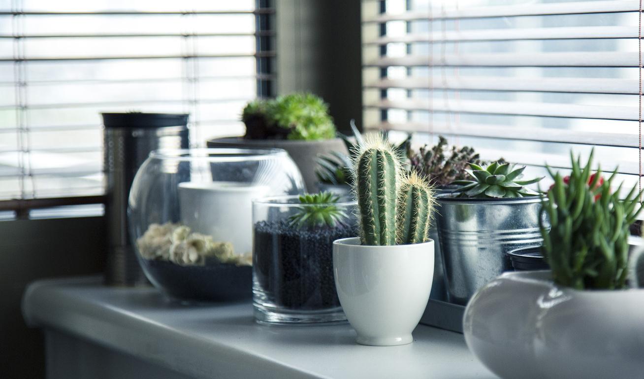 Hogyan és mit gyógyít az Aloe vera?