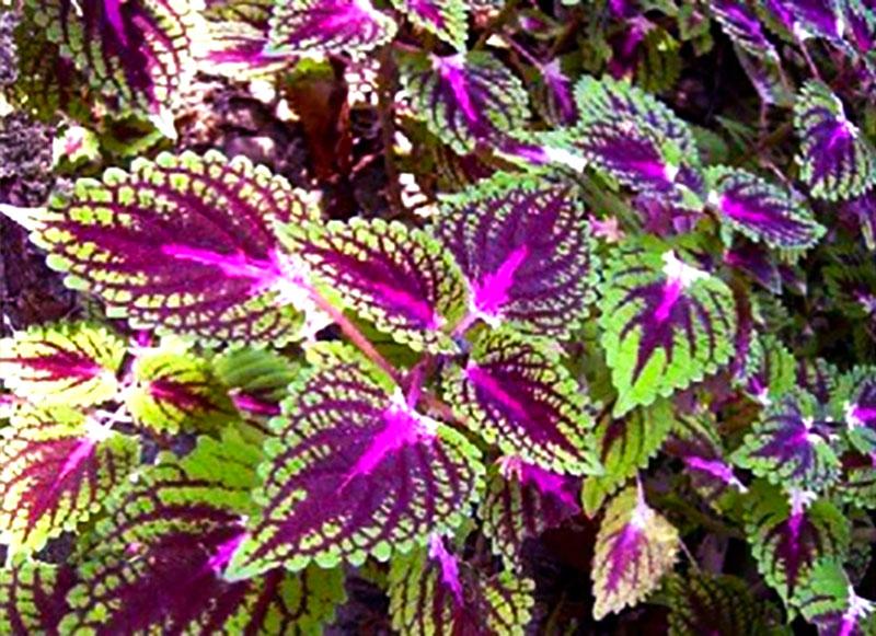 gyógynövények azok fotó pikkelysömör
