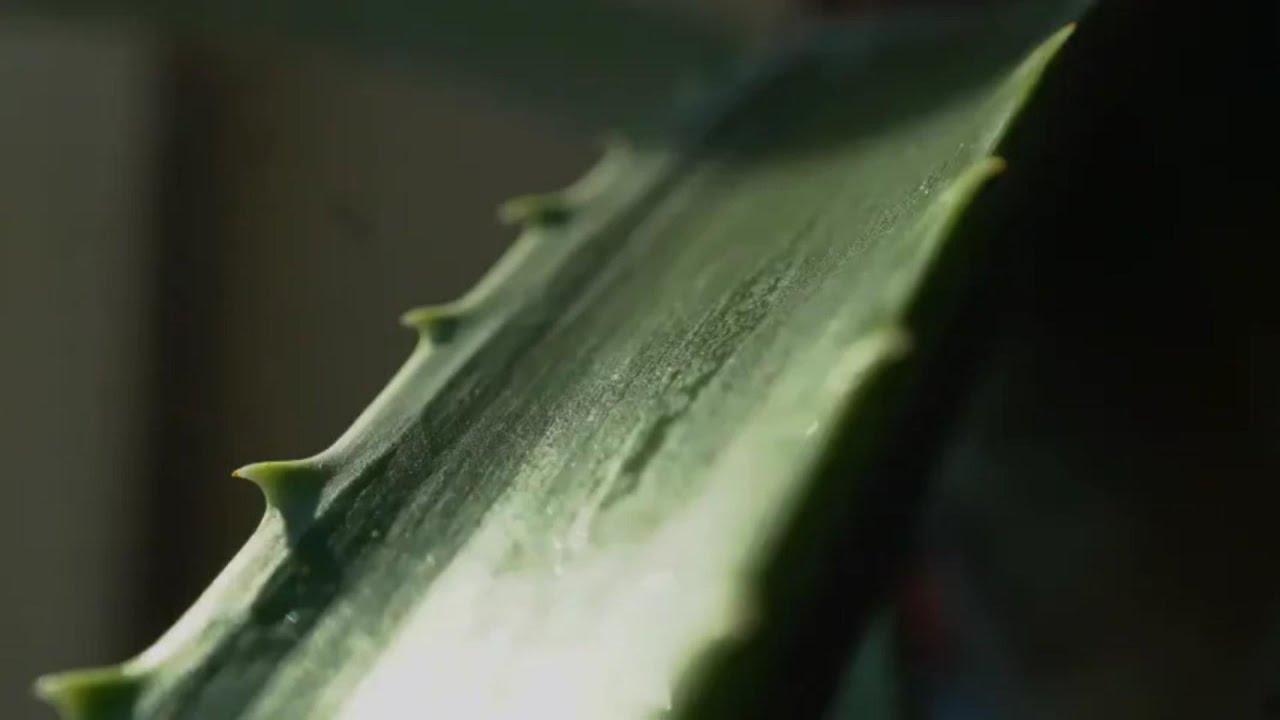 Gyógynövény ismertető A - C
