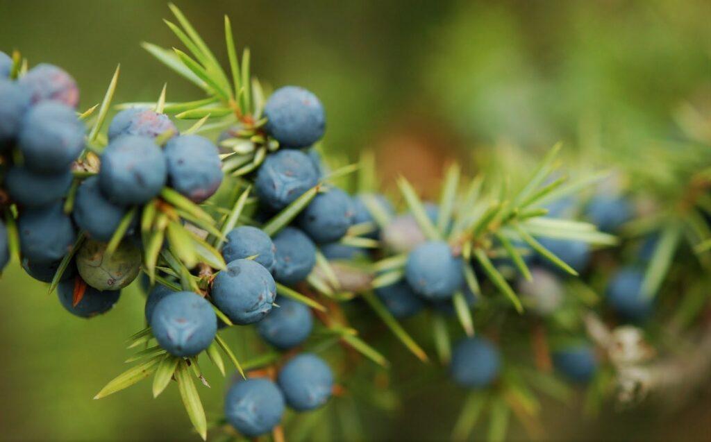 Házi vitaminbombák erdei bogyókból - HáziPatika
