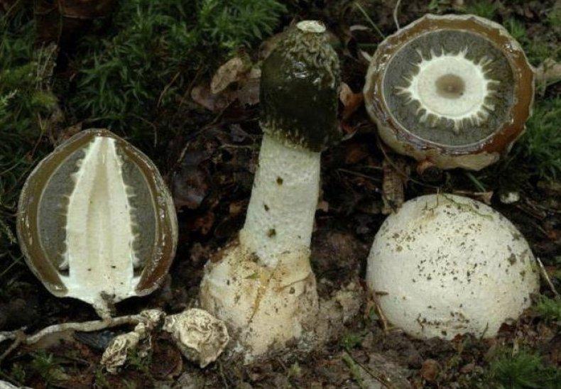 pikkelysömör kezelése veselka gombával